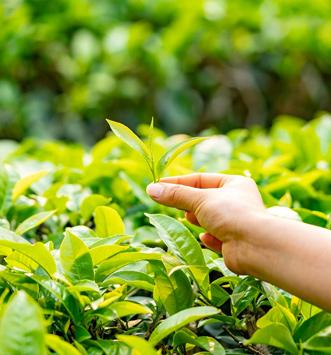 Cueillette du thé bio