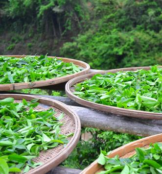 Jardin de thé Yunnan