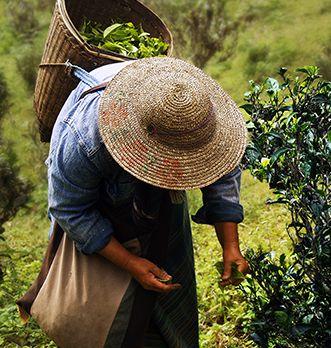 Préparation thé vert